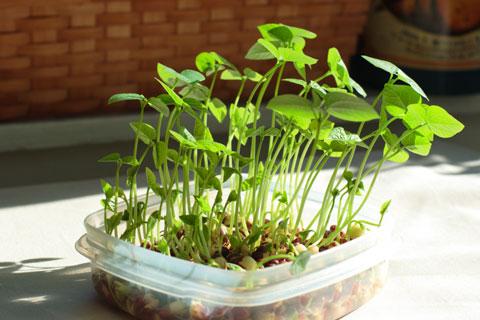 小豆のスプラウト