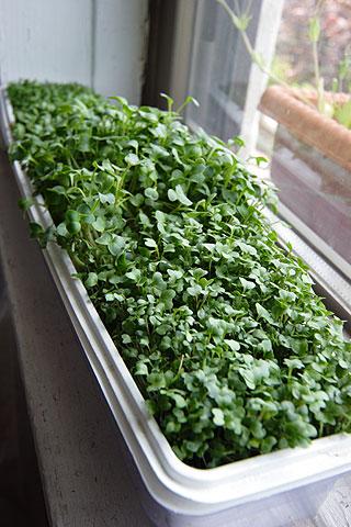 窓際ガーデン・スプラウト