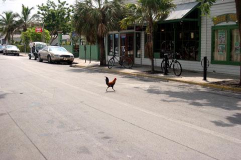 keywest-rooster1.jpg